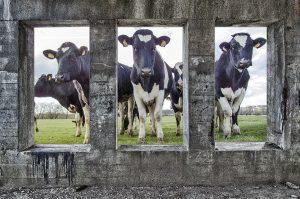 Koeien in de Arhemse Stadsblokken | Foto © Henk Beenen
